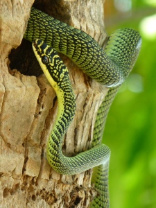 a scary golden-tree-snake,...