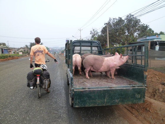 Some other pigs on their way to the butcher