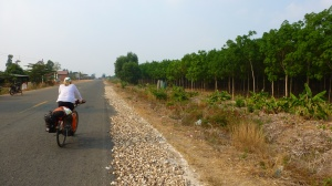Riding next to a rubber plantation and cassava which is drying on the shoulder