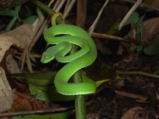 A beautiful green viper sleeping on a branch - deadly within 24 hours if not treated!