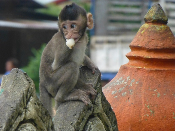 Cute temple monkey
