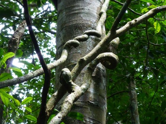 A strangling tree