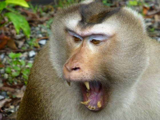 A threatening macaque after he saw us, didn't know that we look that freaky.