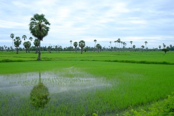 Mirror rice paddy