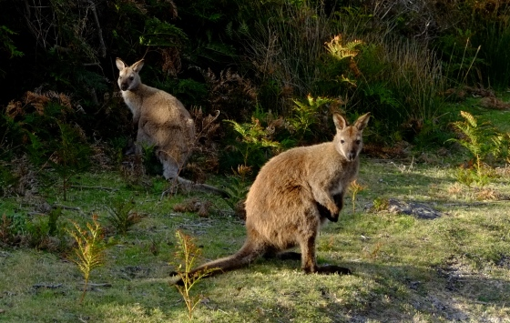 …and being welcomed by some wallabies.