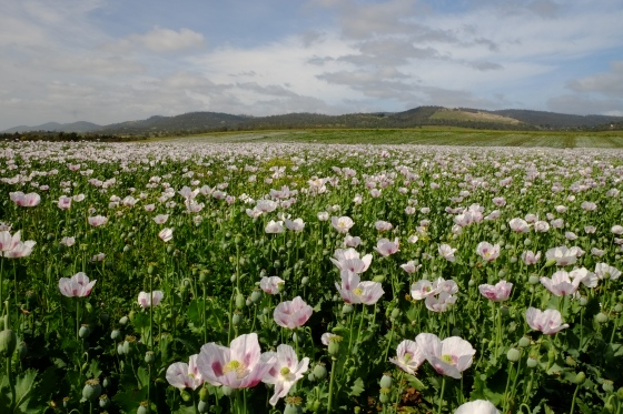 Blooming poppy field: 40% of the world's legal opium crop is grown in Tasmania