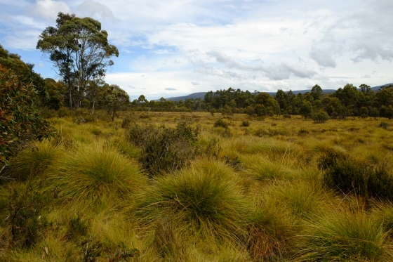 Moorland covered by button grass