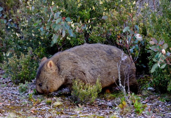 A beautiful wombat