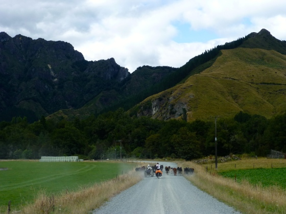 Cycling with the cows, the farmer and busy working dogs to keep the cattle on track