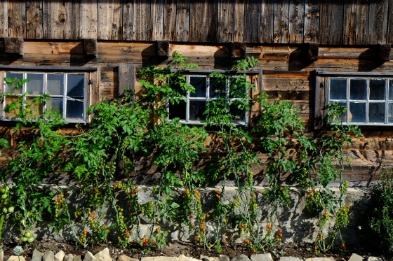 Wooden houses with yummy tomatoes